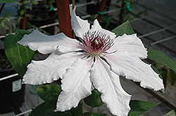 Snow Queen Clematis (Clematis 'Snow Queen') at Meadows Farms Nurseries