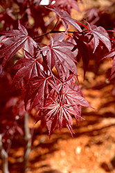 Glowing Embers Japanese Maple (Acer palmatum 'Glowing Embers') at Meadows Farms Nurseries