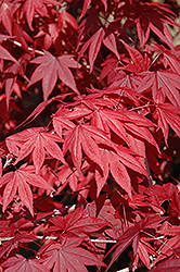 Emperor I Japanese Maple (Acer palmatum 'Wolff') at Meadows Farms Nurseries