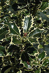 Aureomarginata English Holly (Ilex aquifolium 'Aureomarginata') at Meadows Farms Nurseries