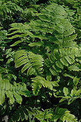 Shaggy Shield Fern (Dryopteris cycadina) at Meadows Farms Nurseries