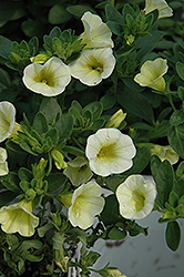 Superbells® Yellow Chiffon Calibrachoa (Calibrachoa 'Superbells Yellow Chiffon') at Meadows Farms Nurseries