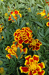 Durango Bee Marigold (Tagetes patula 'Durango Bee') at Meadows Farms Nurseries