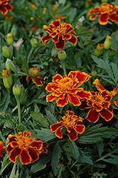 Durango Flame Marigold (Tagetes patula 'Durango Flame') at Meadows Farms Nurseries