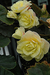 Solenia® Light Yellow Begonia (Begonia 'Solenia Light Yellow') at Meadows Farms Nurseries