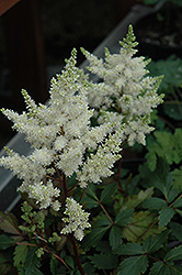 Younique White™ Astilbe (Astilbe 'Verswhite') at Meadows Farms Nurseries
