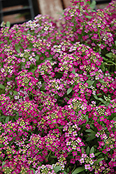 Wonderland Rose Alyssum (Lobularia maritima 'Wonderland Rose') at Meadows Farms Nurseries
