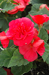 Nonstop® Rose Pink Begonia (Begonia 'Nonstop Rose Pink') at Meadows Farms Nurseries