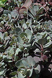 Dazzleberry Stonecrop (Sedum 'Dazzleberry') at Meadows Farms Nurseries