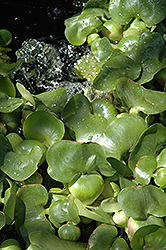 Water Hyacinth (Eichhornia crassipes) at Meadows Farms Nurseries
