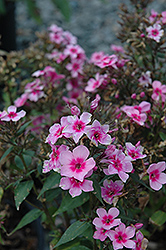 Early Start™ Pink Garden Phlox (Phlox paniculata 'Early Start Pink') at Meadows Farms Nurseries