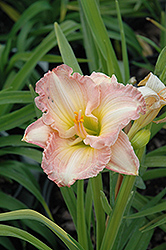 Frosted Vintage Ruffles Daylily (Hemerocallis 'Frosted Vintage Ruffles') at Meadows Farms Nurseries