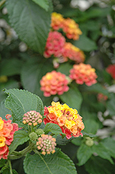 Confetti Lantana (Lantana camara 'Confetti') at Meadows Farms Nurseries