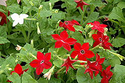 Saratoga Mix Flowering Tobacco (Nicotiana 'Saratoga Mix') at Meadows Farms Nurseries