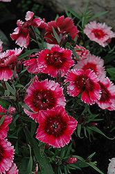 Super Parfait™ Raspberry Pinks (Dianthus 'Super Parfait Raspberry') at Meadows Farms Nurseries