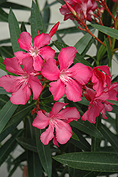 Oleander (Nerium oleander) at Meadows Farms Nurseries