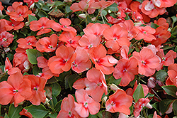Super Elfin® Apricot Impatiens (Impatiens walleriana 'Super Elfin Apricot') at Meadows Farms Nurseries