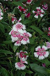 Wee Willie Sweet William (Dianthus barbatus 'Wee Willie') at Meadows Farms Nurseries