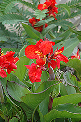 Tropical Red Canna (Canna 'Tropical Red') at Meadows Farms Nurseries