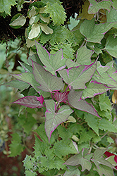 Tricolor Sweet Potato Vine (Ipomoea batatas 'Tricolor') at Meadows Farms Nurseries
