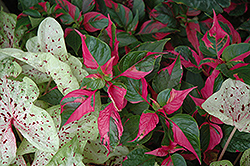 Party Time Alternanthera (Alternanthera ficoidea 'Party Time') at Meadows Farms Nurseries