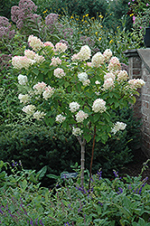 Limelight Hydrangea (tree form) (Hydrangea paniculata 'Limelight (tree form)') at Meadows Farms Nurseries