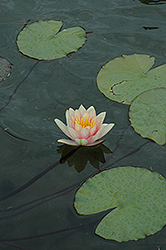 Comanche Hardy Water Lily (Nymphaea 'Comanche') at Meadows Farms Nurseries