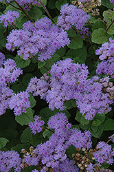 Blue Mink Flossflower (Ageratum 'Blue Mink') at Meadows Farms Nurseries