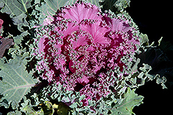 Pink Kale (Brassica oleracea 'Pink') at Meadows Farms Nurseries