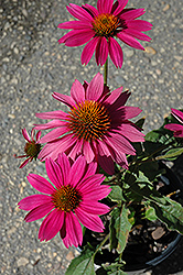 PowWow Wild Berry Coneflower (Echinacea purpurea 'PowWow Wild Berry') at Meadows Farms Nurseries