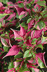 Tricolor Alternanthera (Alternanthera 'Tricolor') at Meadows Farms Nurseries