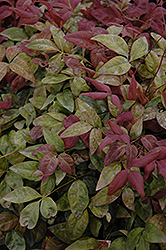 Blush Pink™ Nandina (Nandina domestica 'AKA') at Meadows Farms Nurseries