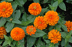 Magellan Orange Zinnia (Zinnia 'Magellan Orange') at Meadows Farms Nurseries