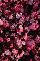Yin Rose Begonia (Begonia 'Yin Rose') at Meadows Farms Nurseries