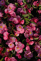 Yang Pink Begonia (Begonia 'Yang Pink') at Meadows Farms Nurseries
