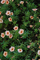 Superbells® Peach Calibrachoa (Calibrachoa 'Superbells Peach') at Meadows Farms Nurseries