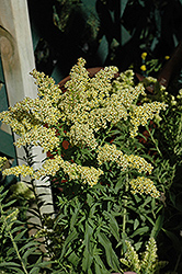 Little Lemon Goldenrod (Solidago 'Dansolitlem') at Meadows Farms Nurseries