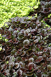 Black Scallop Bugleweed (Ajuga reptans 'Black Scallop') at Meadows Farms Nurseries