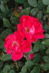 Red Knock Out® Rose (Rosa 'Red Knock Out') at Meadows Farms Nurseries