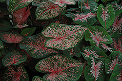 Pink Beauty Caladium (Caladium 'Pink Beauty') at Meadows Farms Nurseries