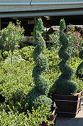 Blue Point Spiral Juniper (Juniperus chinensis 'Blue Point (spiral)') at Meadows Farms Nurseries
