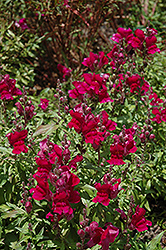 Solstice Burgundy Snapdragon (Antirrhinum majus 'Solstice Burgundy') at Meadows Farms Nurseries