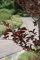 Delta Jazz® Crapemyrtle (Lagerstroemia 'Chocolate Mocha') at Meadows Farms Nurseries