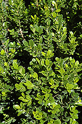 Baby Gem™ Boxwood (Buxus microphylla 'Gregem') at Meadows Farms Nurseries