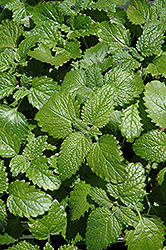 Lemon Balm (Melissa officinalis) at Meadows Farms Nurseries