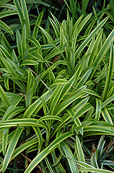 Marc Anthony® Lily Turf (Liriope muscari 'Marant') at Meadows Farms Nurseries