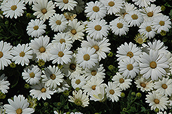 Pure White African Daisy (Osteospermum 'Pure White') at Meadows Farms Nurseries