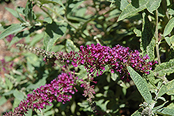 Buzz™ Purple Butterfly Bush (Buddleia davidii 'Buzz Purple') at Meadows Farms Nurseries