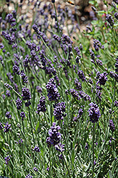Ellagance Purple Lavender (Lavandula angustifolia 'Ellagance Purple') at Meadows Farms Nurseries