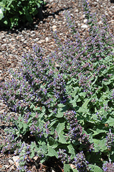 Purple Haze Catmint (Nepeta 'Purple Haze') at Meadows Farms Nurseries